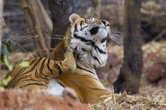皇家孟加拉老虎 免版税库存照片