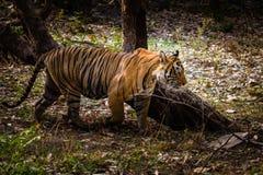 皇家孟加拉老虎T-24 Ustaad 库存图片