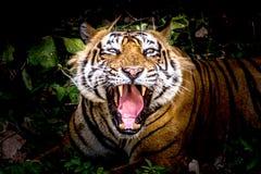 皇家孟加拉老虎T-24 Ustaad 免版税图库摄影