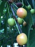 皇家安的樱桃 免版税库存图片
