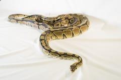 皇家或球Python蛇 免版税库存图片