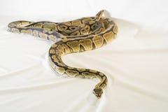 皇家或球Python蛇 图库摄影