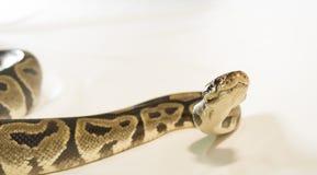 皇家或球Python蛇 免版税库存照片