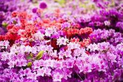 皇家杜娟花,杜鹃花背景 库存图片