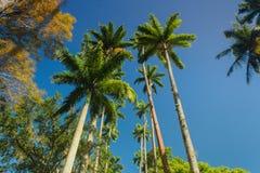 皇家棕榈树在植物园里 免版税库存照片