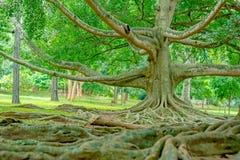 皇家植物园Peradeniya,斯里兰卡 库存照片