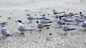 皇家燕鸥, Thalasseus maximus,在海滩 股票录像