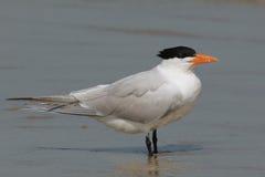 皇家燕鸥-坎伯兰郡海岛佐治亚 库存照片