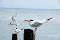 皇家燕鸥(胸骨最大值/Thalasseus maximus) 库存照片