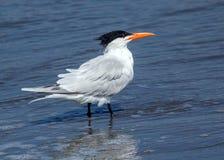 皇家燕鸥Thalasseus maximus 免版税库存图片