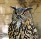 皇家的猫头鹰 免版税库存照片