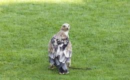 皇家的老鹰 免版税库存图片