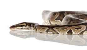 皇家的Python 免版税库存照片