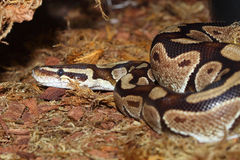 皇家的Python 库存图片
