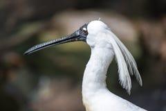 皇家篦鹭联接的羽毛 免版税库存照片