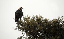 皇家老鹰在树的分支栖息 免版税库存照片