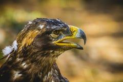 皇家老鹰,与美好的全身羽毛褐色的顶头细节 库存照片