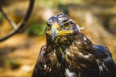 皇家老鹰,与美好的全身羽毛褐色的顶头细节 免版税图库摄影