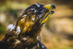 皇家老鹰,与美好的全身羽毛褐色的顶头细节 免版税库存照片