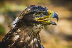 皇家老鹰,与美好的全身羽毛褐色的顶头细节 免版税库存图片