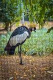 皇家苍鹭在莫斯科动物园里 免版税库存图片