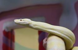 皇家蟒蛇白变种 免版税图库摄影