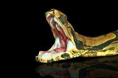 皇家蟒蛇,张嘴 免版税库存照片