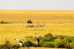皇家起重机在马赛马拉公园在西北肯尼亚 免版税图库摄影
