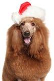 皇家长卷毛狗在圣诞老人圣诞节帽子 免版税库存照片