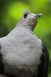 皇家鸽子眼睛 库存图片