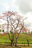 皇家Poinciana或凤凰木 免版税库存照片