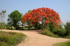 皇家Poinciana树。 免版税库存照片