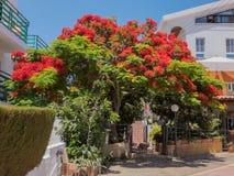 皇家Poinciana树在塞浦路斯 库存照片