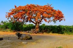 皇家Poinciana树Gulmohar,在浦那,马哈拉施特拉附近的Delonix regia 库存图片