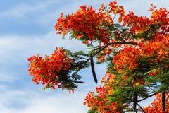 皇家Poinciana槭叶瓶木 免版税图库摄影