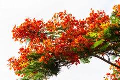皇家Poinciana槭叶瓶木 库存照片
