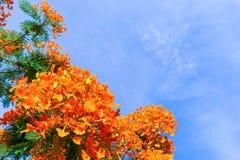 皇家Poinciana,华腴,槭叶瓶木(Delonix regis)在天空 免版税库存照片
