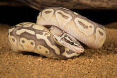 皇家Python变体 库存图片