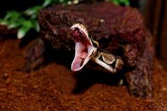 皇家Python蛇叮咬! 免版税库存照片