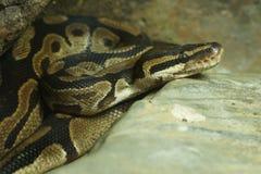 皇家Python蛇 库存图片