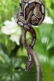 皇家Python 库存图片