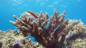 皇帝神仙鱼, Pomacanthus imperator红海 埃及 免版税库存照片