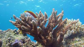 皇帝神仙鱼, Pomacanthus imperator红海 免版税库存图片