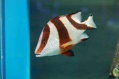 皇帝红鲷鱼 免版税库存照片