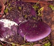皇帝蘑菇 免版税库存图片