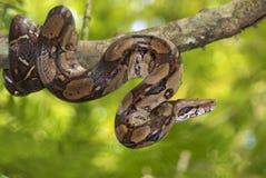 皇帝蟒蛇大蟒蛇imperator 免版税图库摄影