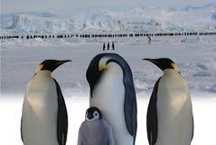 皇帝行军企鹅 库存照片
