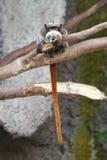 皇帝绢毛猴(Saguinus imperator) 免版税图库摄影