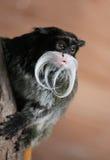 皇帝绢毛猴Saguinus imperator 免版税图库摄影
