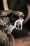 皇帝绢毛猴Saguinus imperator 库存图片